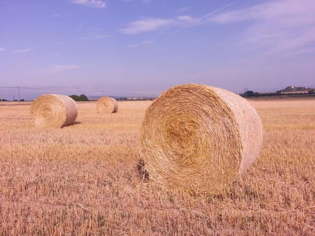 Campo de trigo recién cosechado en agosto