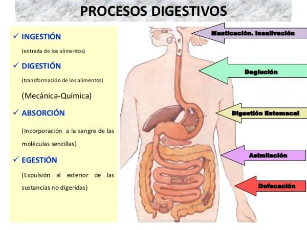 sistema-digestivo-y-metabolismo-3-638